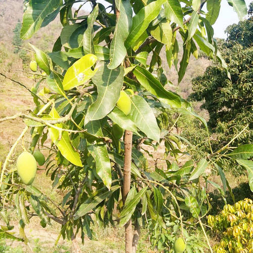 Ayurvedic Organic Fruit in Rishikesh from Veda5 Farm in Himalayas